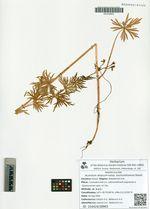 Aconitum altaicum Steinb. subsp. sochondinensis Galanin