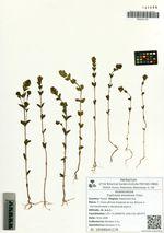 Euphrasia amurensis Freyn