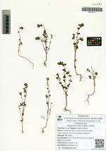 Euphrasia mollis (Ledeb.) Wettst.