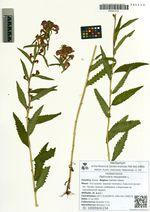 Pedicularis resupinata L.