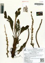 Lagotis minor (Willd.) Standl.