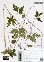 Aconitum stoloniferum Worosch.