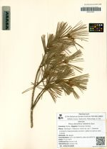 Pinus densiflora Siebold & Zucc.