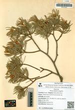Pinus edulis Engelm.