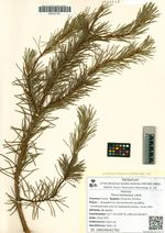 Pinus banksiana Lamb.
