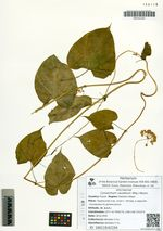 Cynanchum caudatum (Miq.) Maxim.