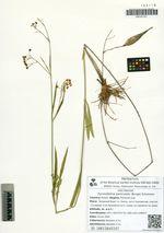 Pycnostelma paniculata (Bunge) Schumann