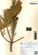 Pinus funebris Kom.