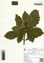 Bothrocaryum controversum (Hemsl. ex Prain) Pojark