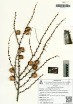 Larix gmelinii (Rupr.) Kuzen.