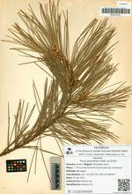 Pinus gerardiana Wall. ex D.Don