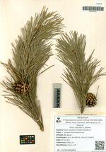 Pinus hamata D. Soskav.