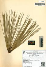 Pinus jeffreyi A.Murray bis