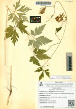 Aconitum sczukinii Turcz.
