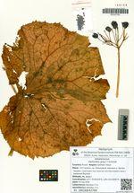 Diphylleia grayi F.Schmidt