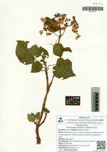 Hydrangea petiolaris Siebold & Zucc.