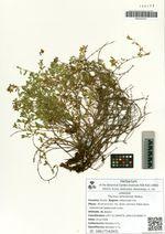Thymus amurensis Klokov