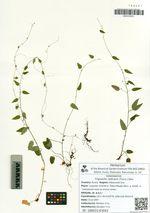 Trigonotis radicans (Turcz.) Stev.