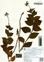 Mertensia pterocarpa (Turcz.) Tatew. et Ohwi