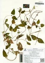 Tripterospermum trinervium (Thunb.) H.Ohashi & H.Nakai