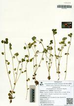 Chrysosplenium ramosum Maxim.
