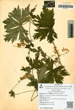 Aconitum arcuatum Maxim.