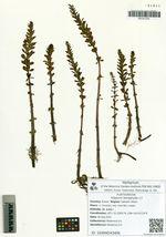 Hippuris tetraphylla L.f.
