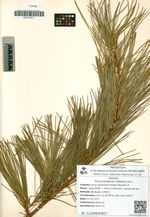 Pinus koraiensis Siebold & Zucc.
