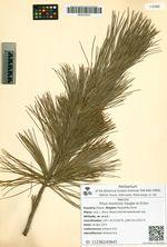 Pinus monticola Douglas ex D.Don