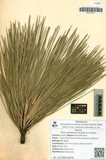Pinus ponderosa Douglas ex C.Lawson