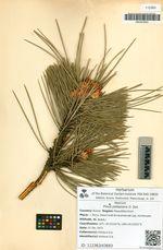 Pinus pallasiana D. Don