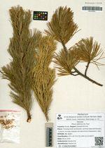 Pinus sibirica Du Tour