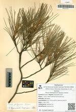 Pinus stankewiczii (Sukacz.) Fomin