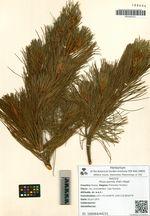 Pinus pumila (Pall.) Regel