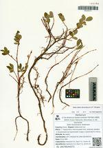 Salix fuscescens Andersson