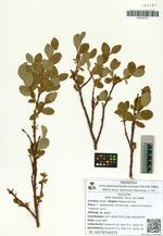 Salix saxatilis Turcz. ex Ledeb.