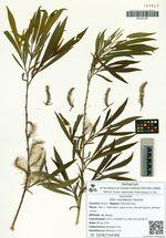 Salix miyabeana Seemen