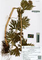 Aconitum maximum Pall.