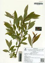 Salix siuzevii Seemen