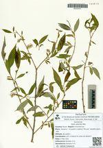 Salix pierotii Miq.
