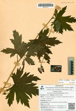 Aconitum neosachalinense H.Lév.