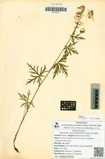 Aconitum macrorhynchum Turcz. ex Ledeb.