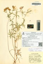 Aconitum ambiguum Rchb.