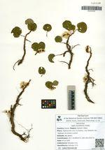 Salix kurilensis Koidz.