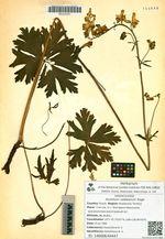 Aconitum raddeanum Regel