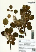 Salix ketoiensis Kimura