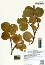 Salix arctica Pall. subsp. crassijulis (Trautv.) A. Skvorts.