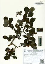 Salix reinii Seemen