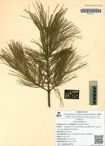 Pinus strobus L.