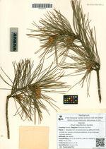 Pinus tabuliformis Carrière